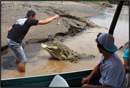 Questões e Fatos sobre Crocodilianos gigantes: Transferência de debate da comunidade Conflitos Selvagens.  - Página 2 Costa-rica-crocodiles