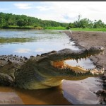 tarcoles crocodiles 150x150 A Must Experience Crocodile River Adventure in Costa Rica!