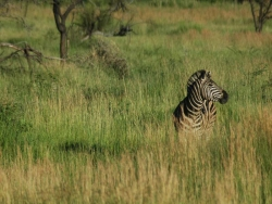 Zebra Sun City South Africa Casino & Safaris Game Reserves